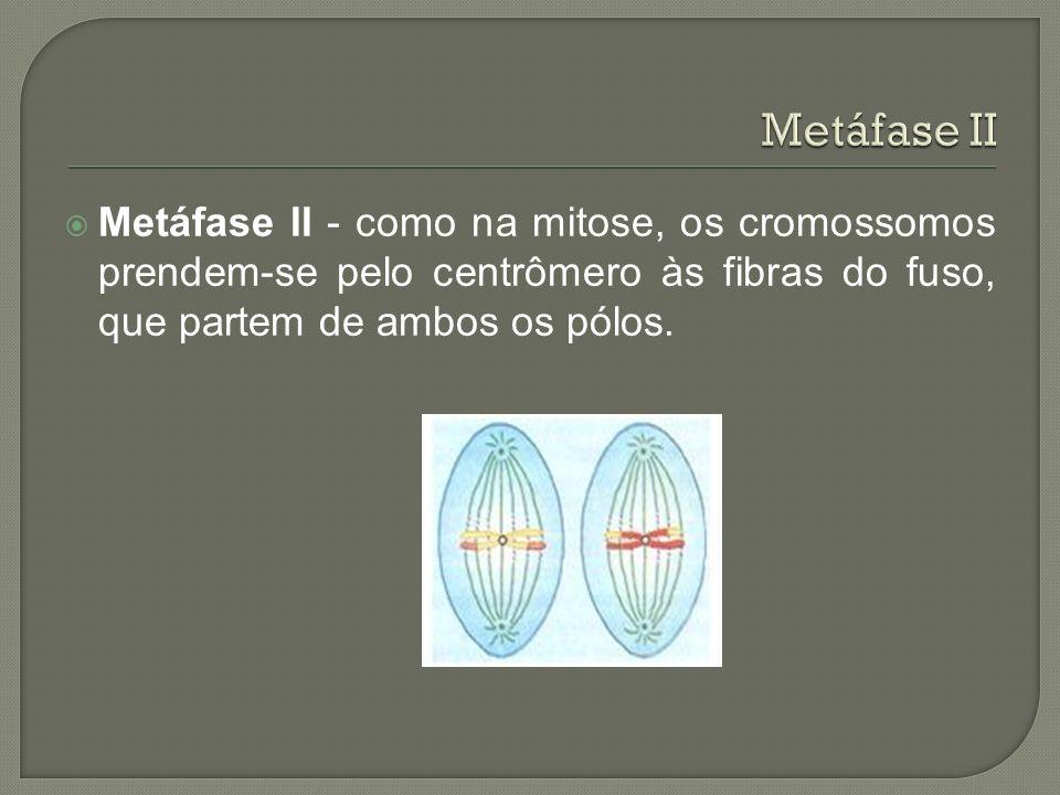 Metáfase II Metáfase II - como na mitose, os cromossomos prendem-se pelo centrômero às fibras do fuso, que partem de ambos os pólos.