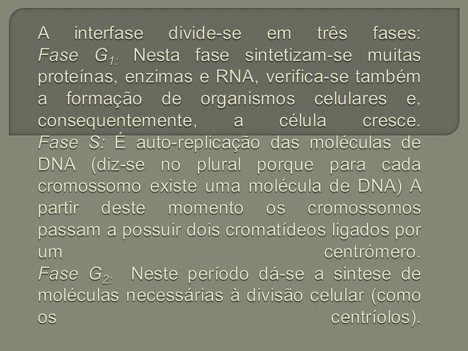 A interfase divide-se em três fases: Fase G1: Nesta fase sintetizam-se muitas proteínas, enzimas e RNA, verifica-se também a formação de organismos celulares e, consequentemente, a célula cresce.