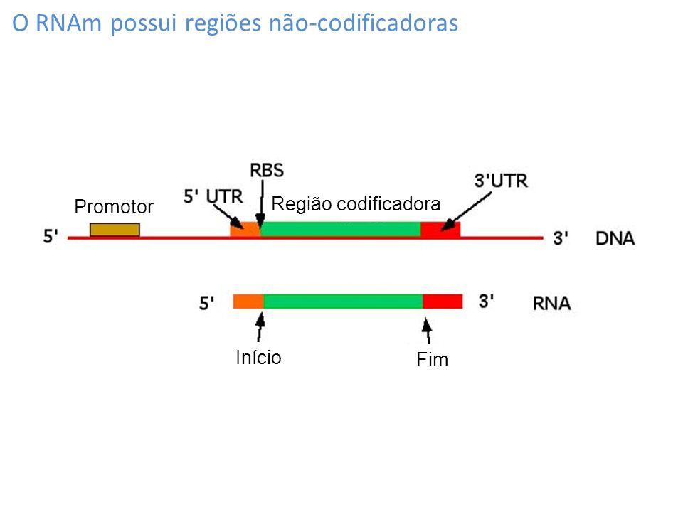 O RNAm possui regiões não-codificadoras