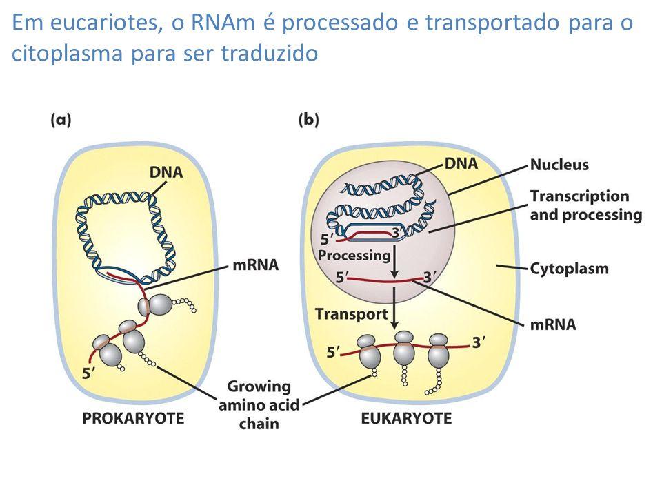 Em eucariotes, o RNAm é processado e transportado para o citoplasma para ser traduzido