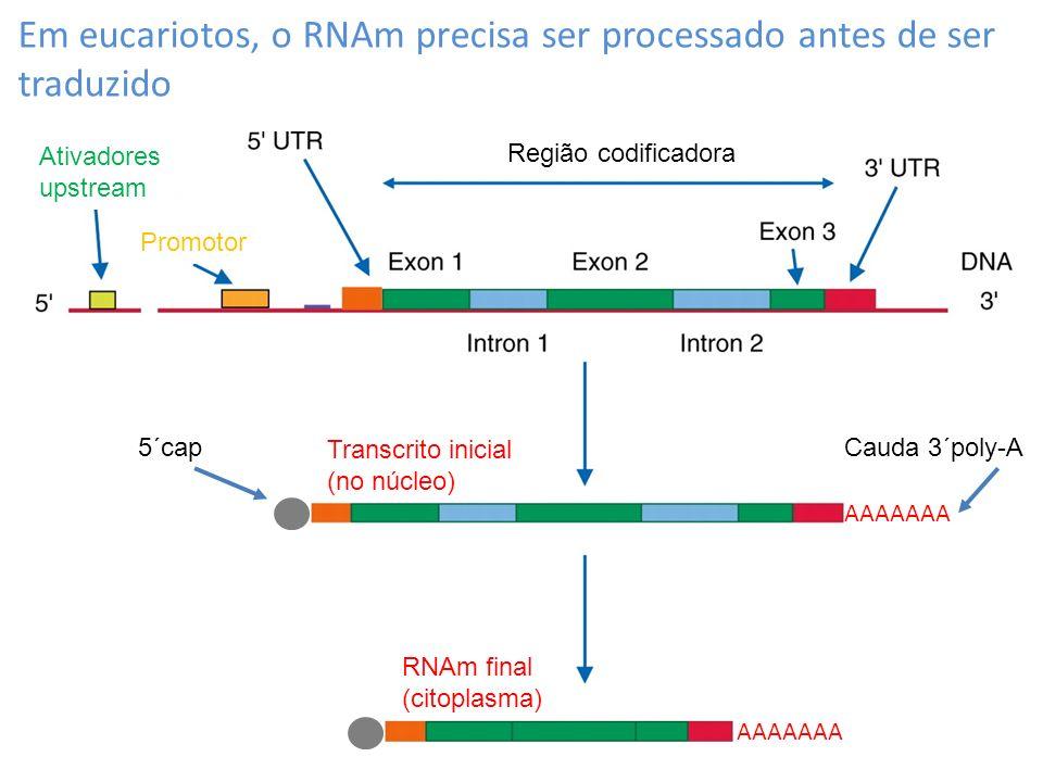Em eucariotos, o RNAm precisa ser processado antes de ser traduzido