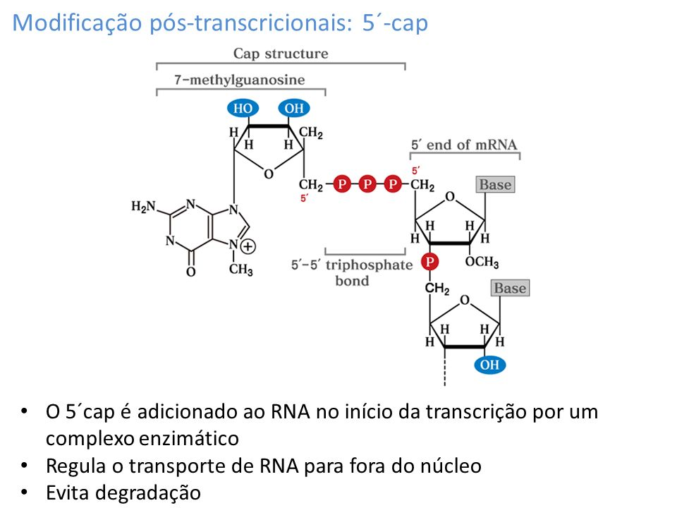 Modificação pós-transcricionais: 5´-cap