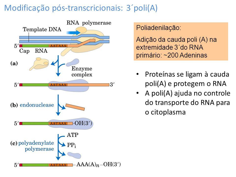 Modificação pós-transcricionais: 3´poli(A)