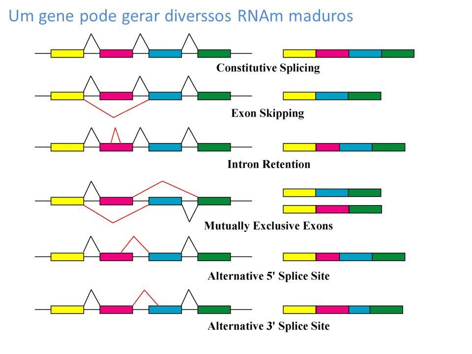 Um gene pode gerar diverssos RNAm maduros