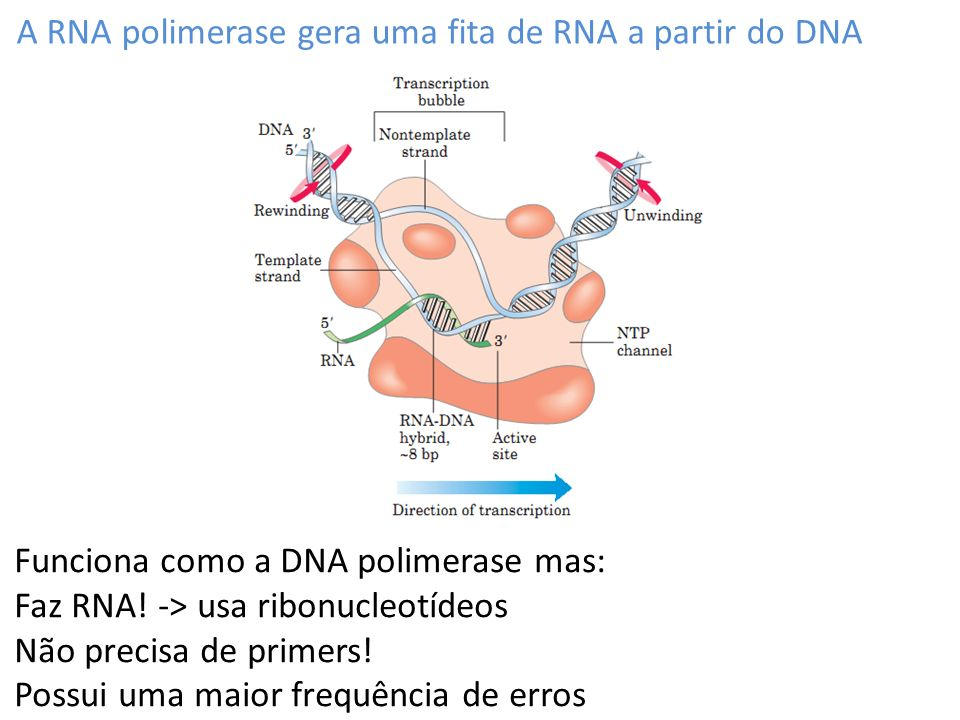 A RNA polimerase gera uma fita de RNA a partir do DNA