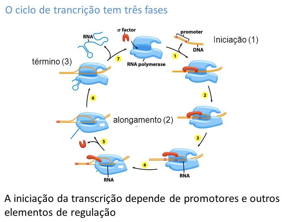 O ciclo de trancrição tem três fases
