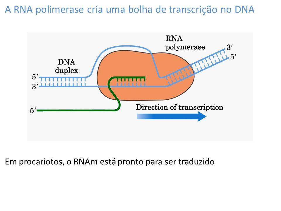 A RNA polimerase cria uma bolha de transcrição no DNA