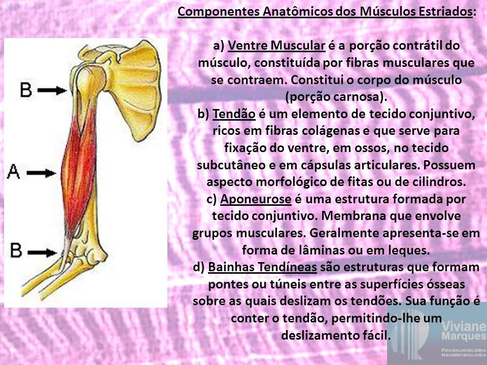 Componentes Anatômicos dos Músculos Estriados: a) Ventre Muscular é a porção contrátil do músculo, constituída por fibras musculares que se contraem.