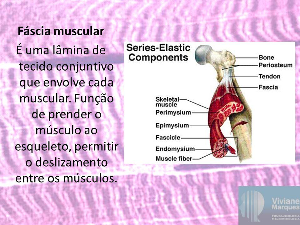 Fáscia muscular É uma lâmina de tecido conjuntivo que envolve cada muscular.