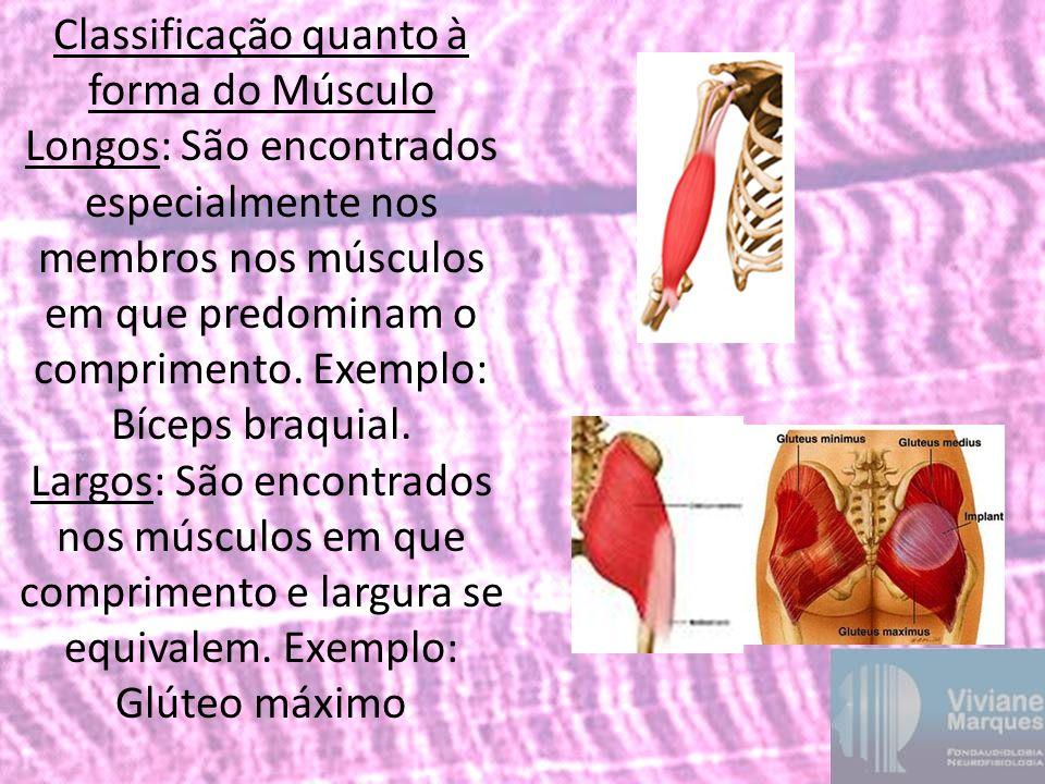 Classificação quanto à forma do Músculo