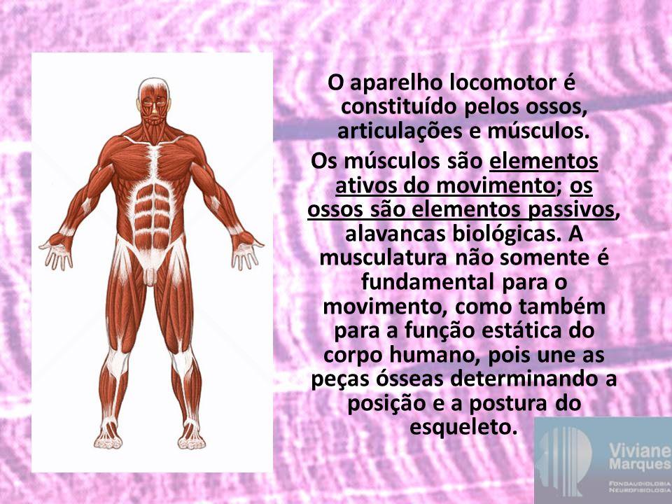 O aparelho locomotor é constituído pelos ossos, articulações e músculos.