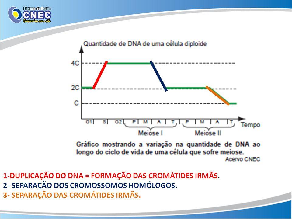 1-DUPLICAÇÃO DO DNA = FORMAÇÃO DAS CROMÁTIDES IRMÃS.
