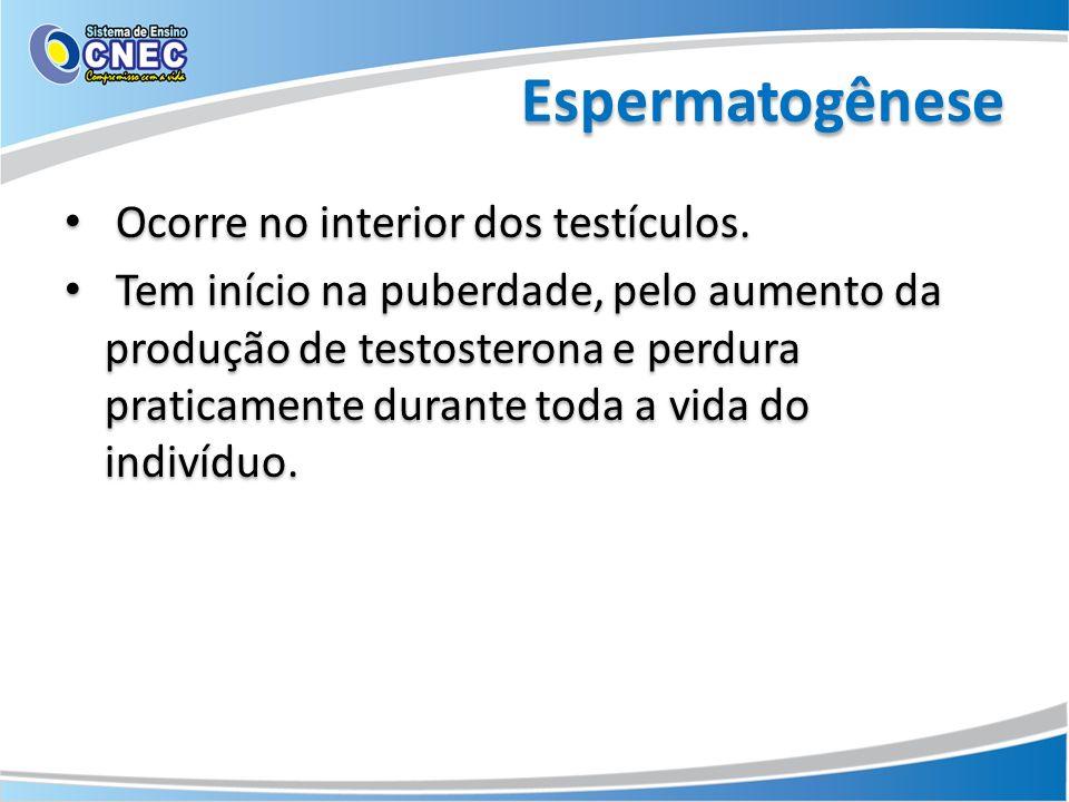 Espermatogênese Ocorre no interior dos testículos.