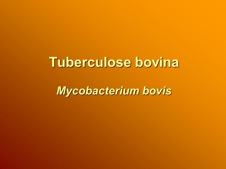Tuberculose bovina Mycobacterium bovis