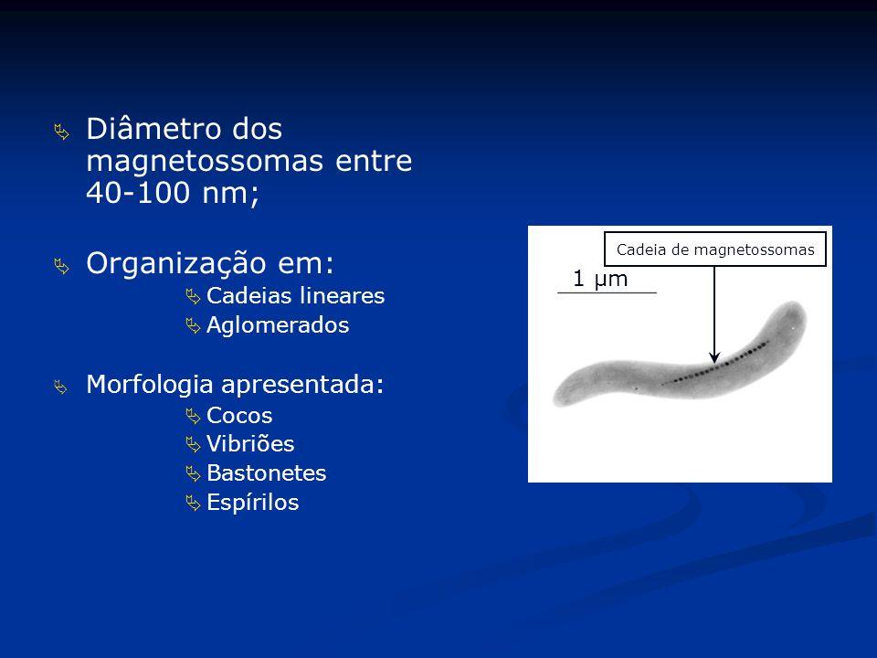 Diâmetro dos magnetossomas entre 40-100 nm;