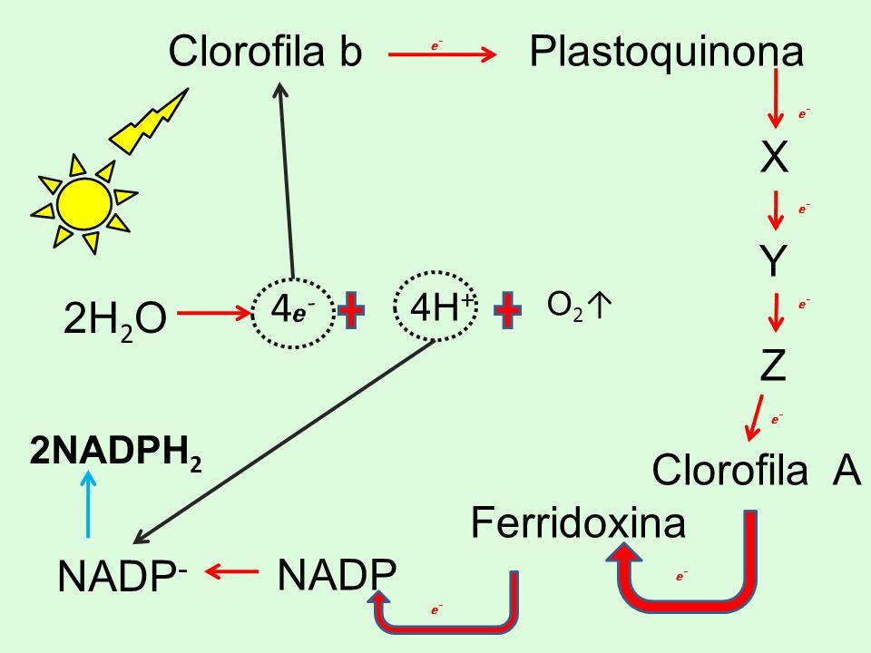 Clorofila b Plastoquinona X Y Z Clorofila A Ferridoxina NADP 2H2O
