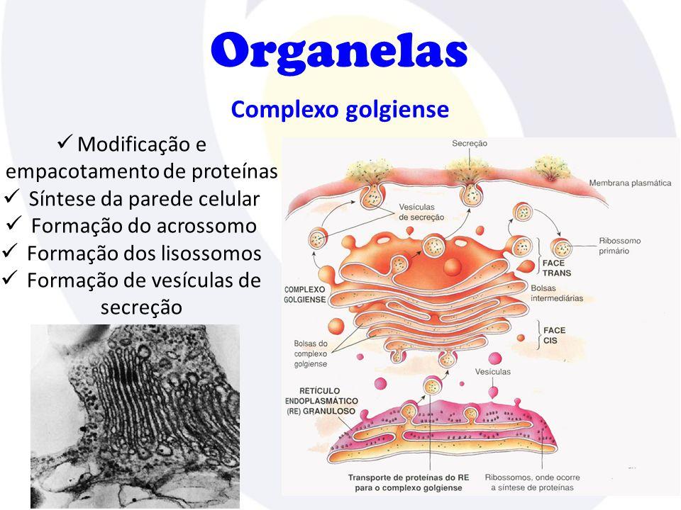 Organelas Complexo golgiense Modificação e empacotamento de proteínas