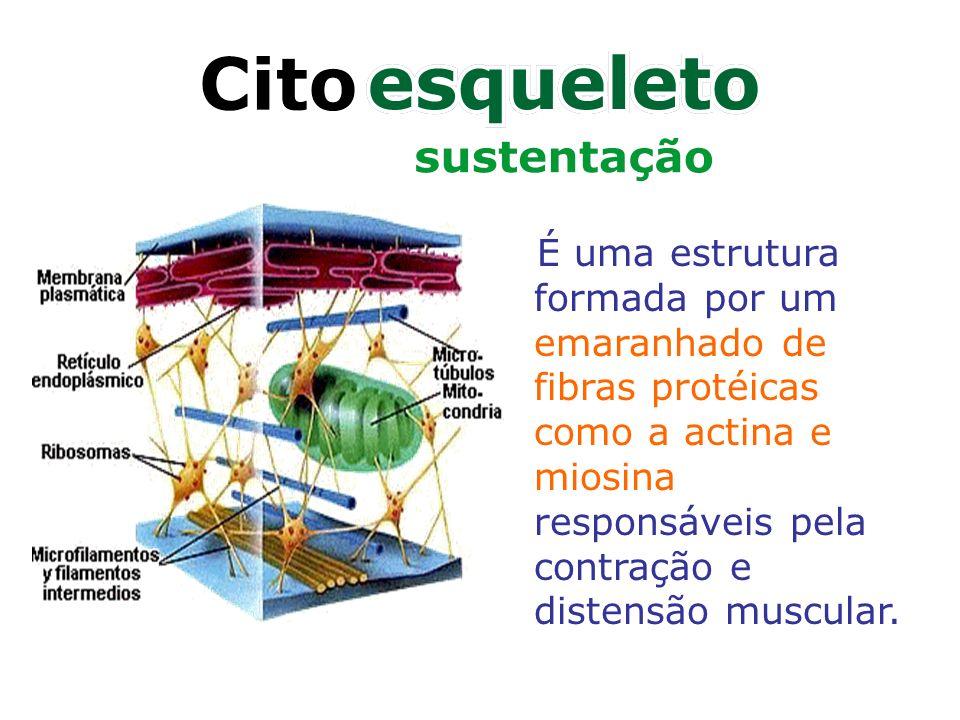 É uma estrutura formada por um emaranhado de fibras protéicas como a actina e miosina responsáveis pela contração e distensão muscular.