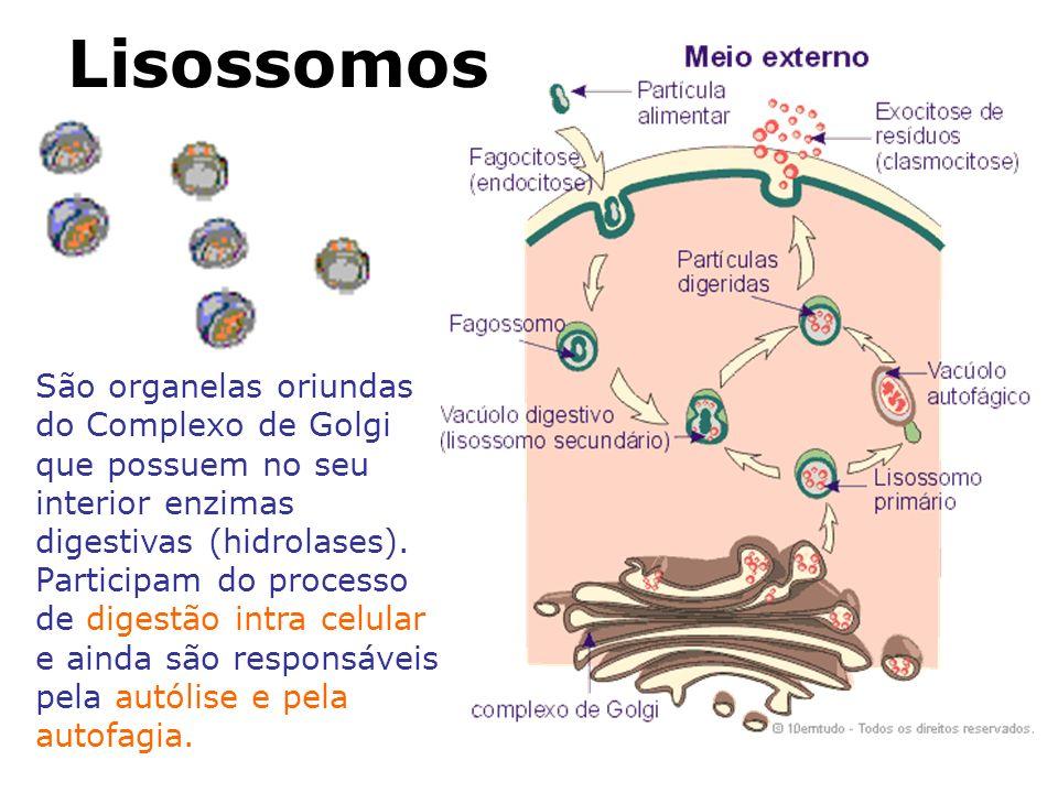 Lisossomos São organelas oriundas do Complexo de Golgi que possuem no seu interior enzimas digestivas (hidrolases).
