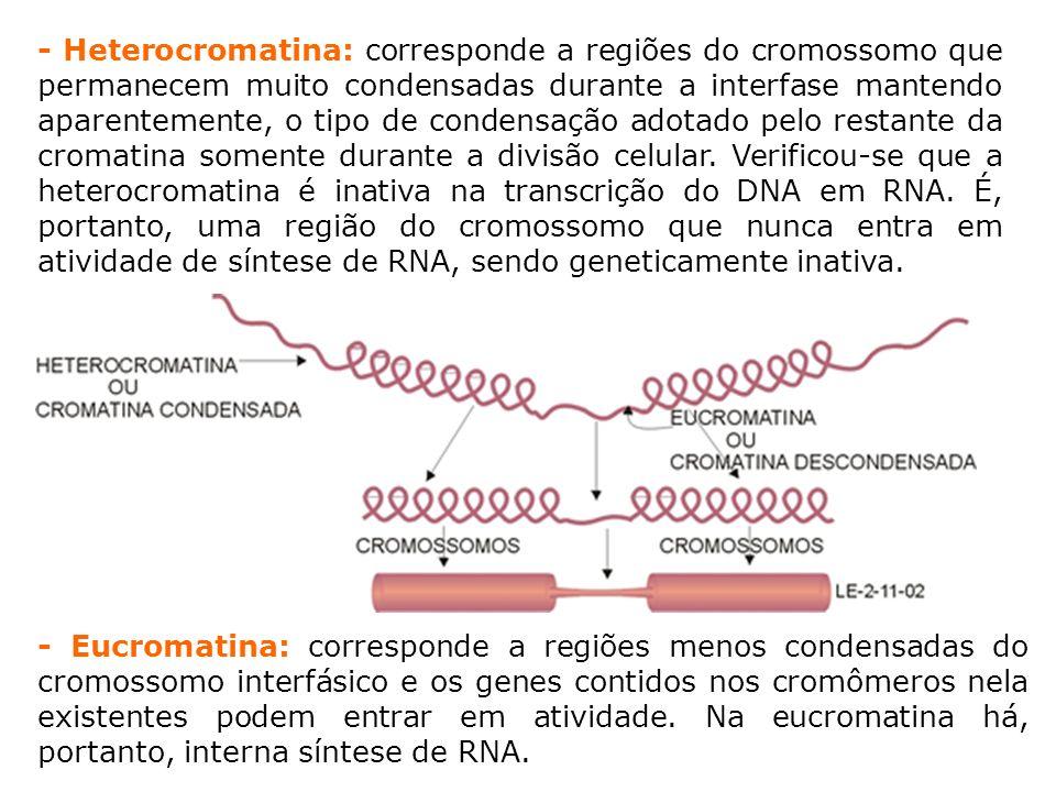 - Heterocromatina: corresponde a regiões do cromossomo que permanecem muito condensadas durante a interfase mantendo aparentemente, o tipo de condensação adotado pelo restante da cromatina somente durante a divisão celular. Verificou-se que a heterocromatina é inativa na transcrição do DNA em RNA. É, portanto, uma região do cromossomo que nunca entra em atividade de síntese de RNA, sendo geneticamente inativa.