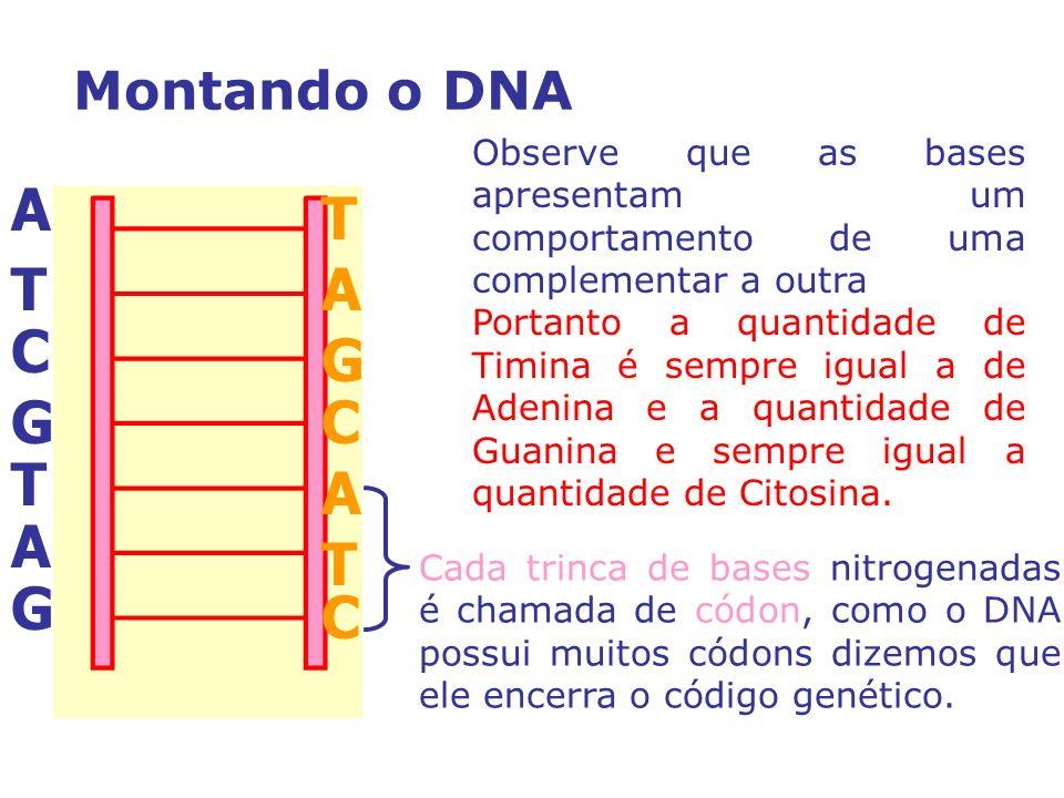A T T A C G G C T A A T G C Montando o DNA