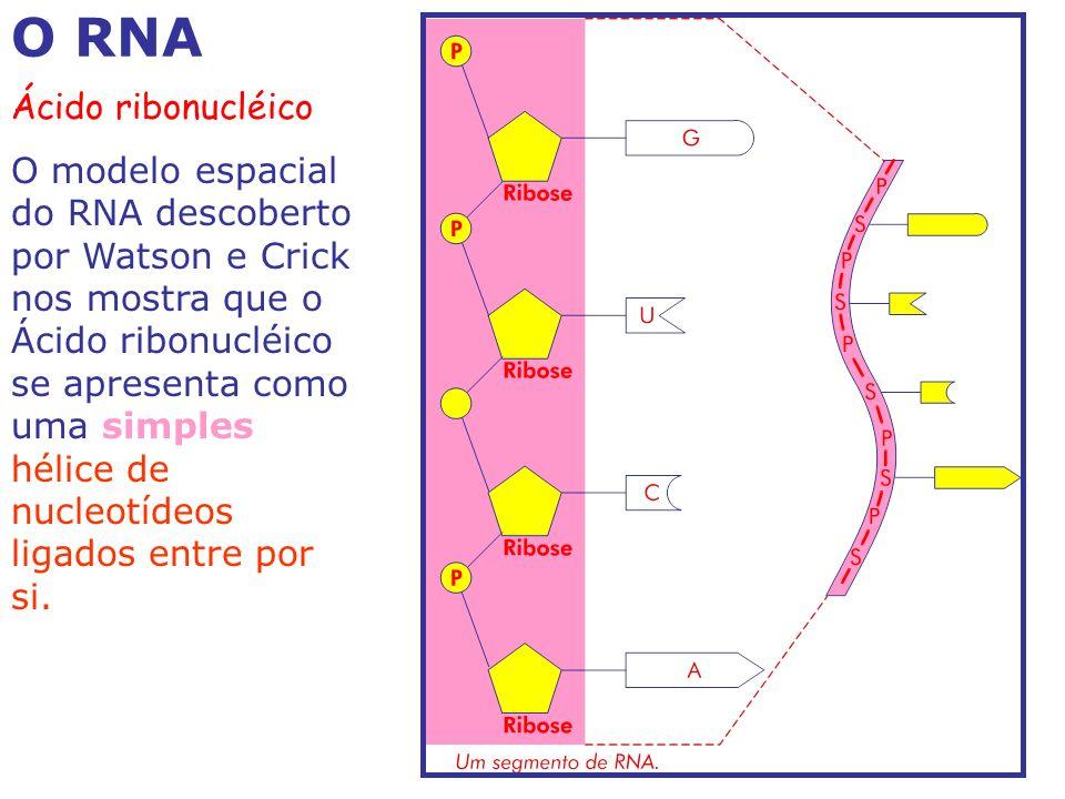 O RNA Ácido ribonucléico