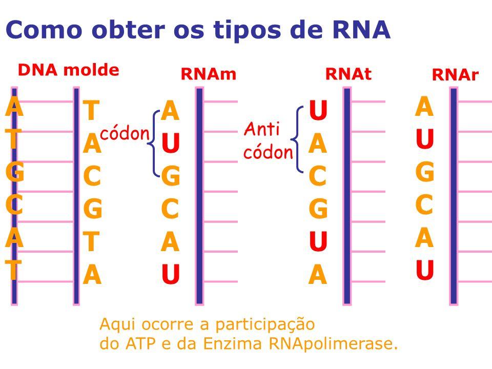 A T G C A U G C T A C G A U G C U A C G Como obter os tipos de RNA