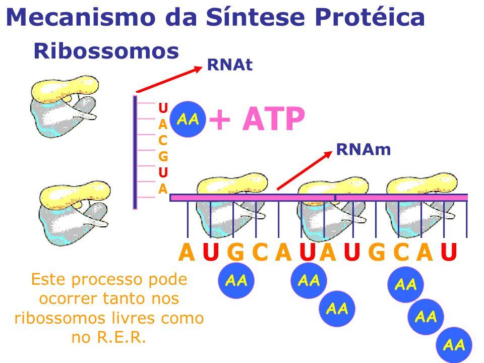 Este processo pode ocorrer tanto nos ribossomos livres como no R.E.R.