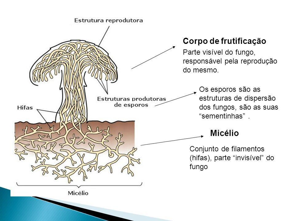 Corpo de frutificação Micélio Parte visível do fungo,