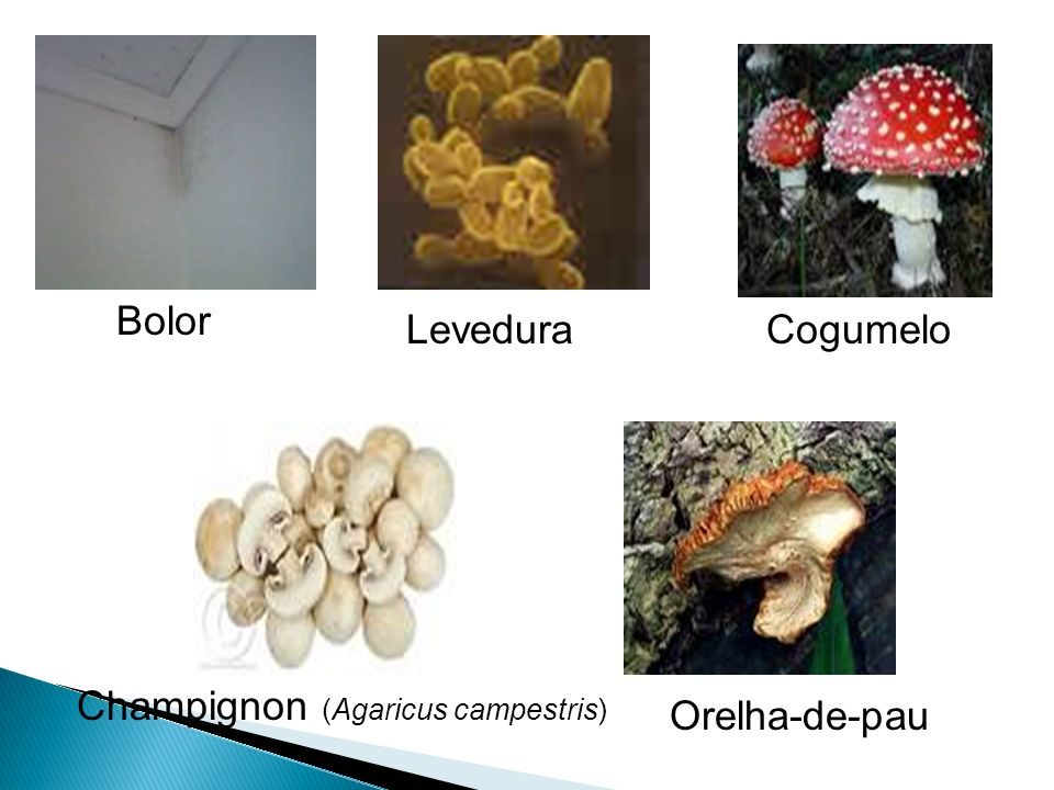 Bolor Levedura Cogumelo Champignon (Agaricus campestris) Orelha-de-pau