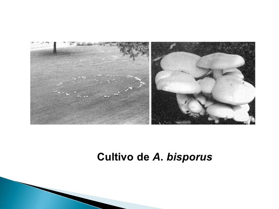 Cultivo de A. bisporus