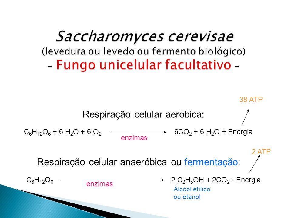 Saccharomyces cerevisae (levedura ou levedo ou fermento biológico) - Fungo unicelular facultativo -