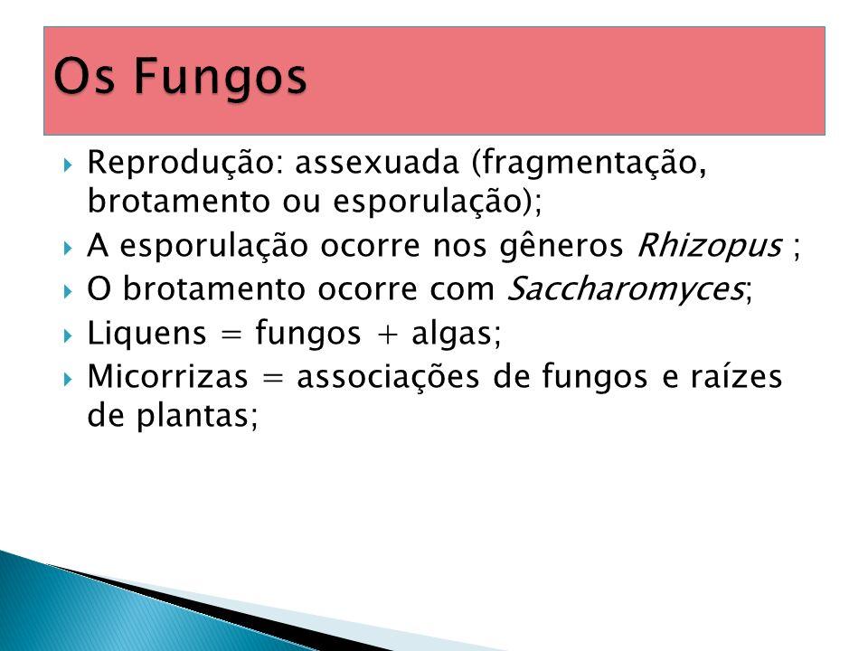 Os Fungos Reprodução: assexuada (fragmentação, brotamento ou esporulação); A esporulação ocorre nos gêneros Rhizopus ;