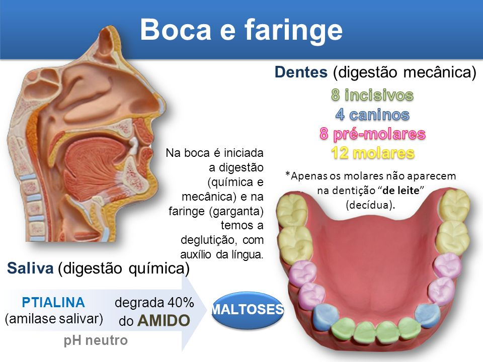 Vistoso Anatomía De La Boca Y Garganta Fotos Imagen - Imágenes de ...