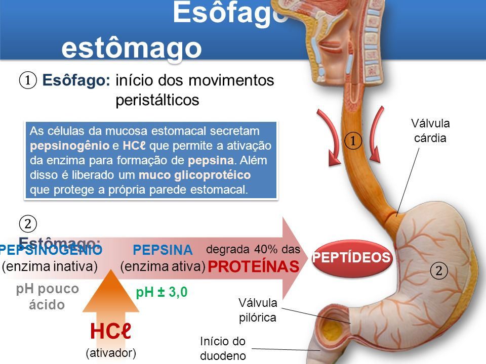 Esôfago e estômago HCℓ ① Esôfago: início dos movimentos peristálticos