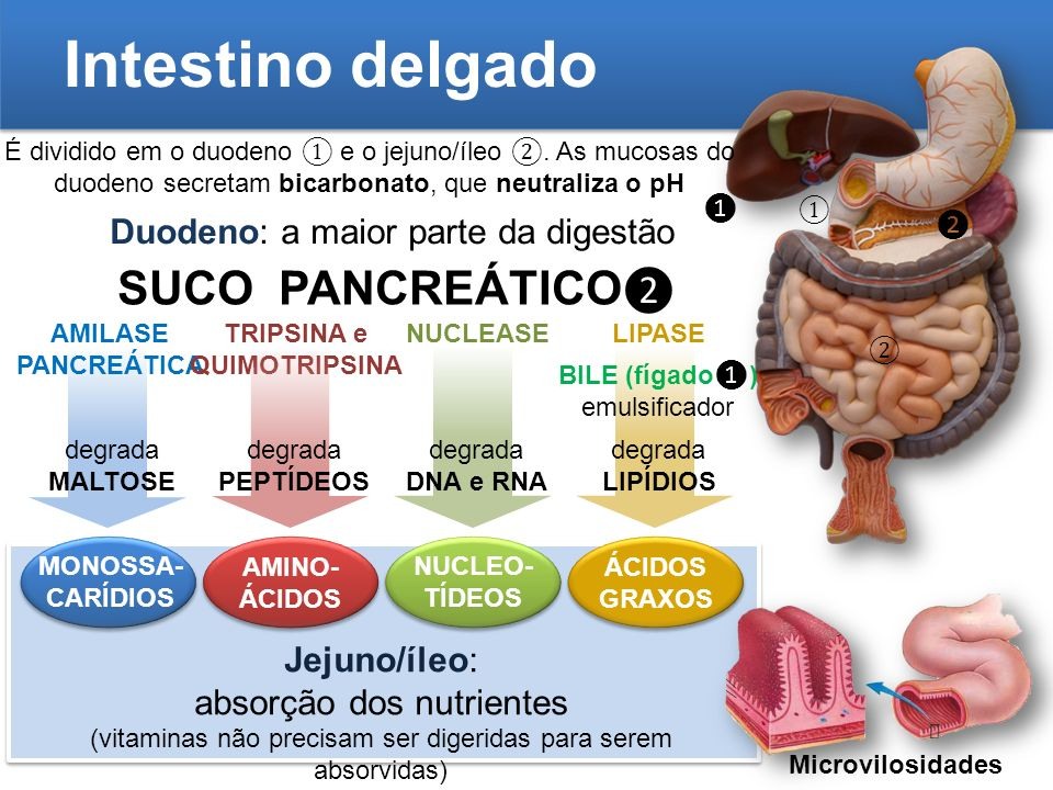 Intestino delgado SUCO PANCREÁTICO❷ Duodeno: a maior parte da digestão