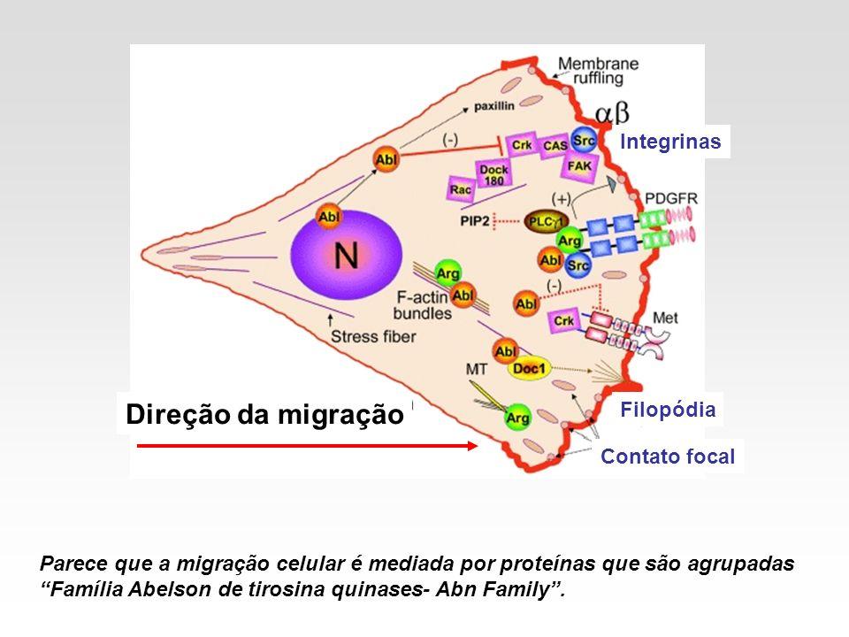 Direção da migração Integrinas Filopódia Contato focal
