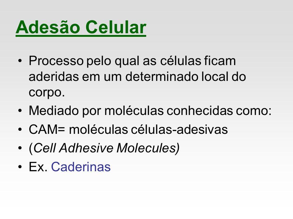 Adesão Celular Processo pelo qual as células ficam aderidas em um determinado local do corpo. Mediado por moléculas conhecidas como: