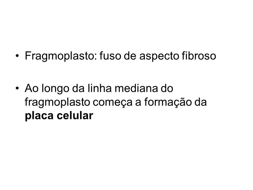 Fragmoplasto: fuso de aspecto fibroso