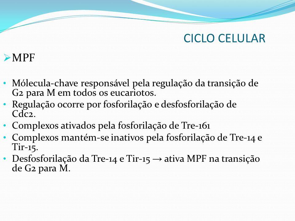 CICLO CELULAR MPF. Mólecula-chave responsável pela regulação da transição de G2 para M em todos os eucariotos.