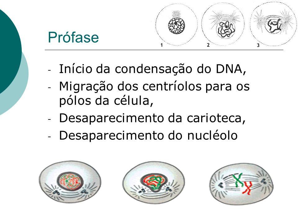 Prófase Início da condensação do DNA,