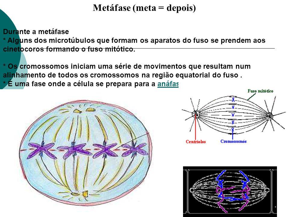 Metáfase (meta = depois)