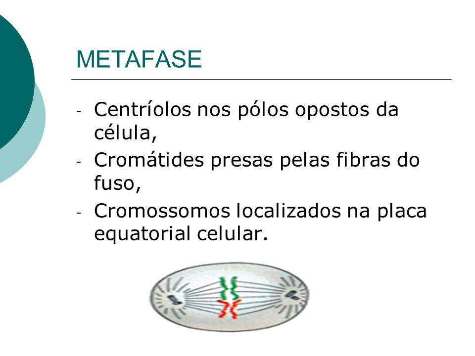 METAFASE Centríolos nos pólos opostos da célula,