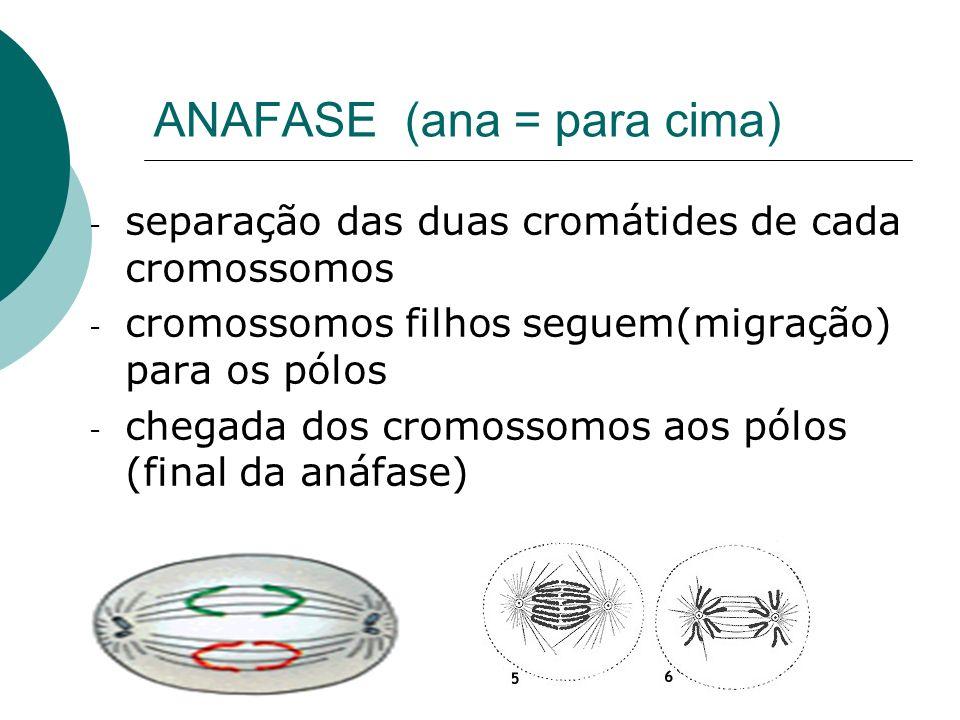 ANAFASE (ana = para cima)