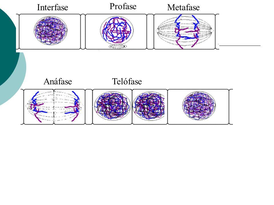 Interfase Profase Metafase Anáfase Telófase