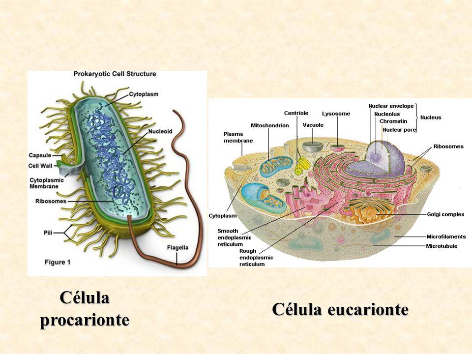 Célula procarionte Célula eucarionte