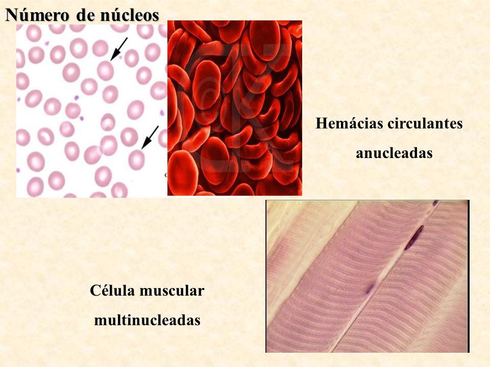 Número de núcleos Hemácias circulantes anucleadas Célula muscular