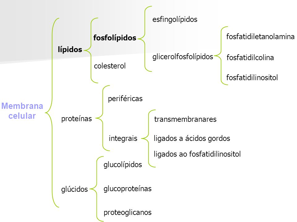 Membrana celular esfingolípidos fosfatidilserina fosfolípidos