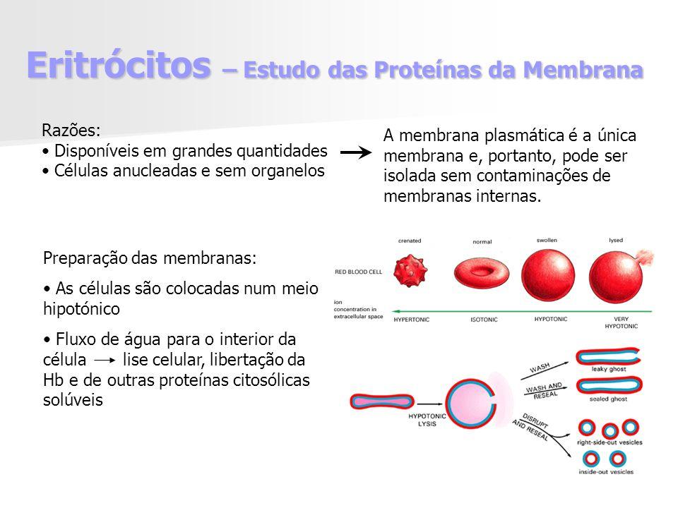 Eritrócitos – Estudo das Proteínas da Membrana