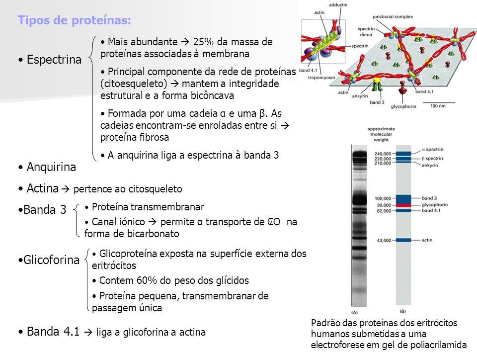 Tipos de proteínas: Espectrina Anquirina Actina Banda 3 Glicoforina